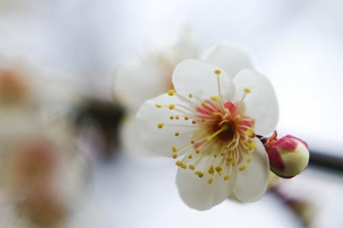 梅の花(MCクローズアップレンズ使用)