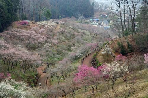 吉野梅郷(2)