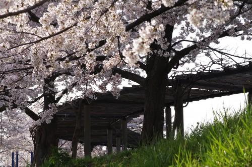 近所の桜(1)