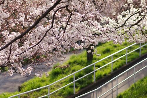 近所の桜(2)