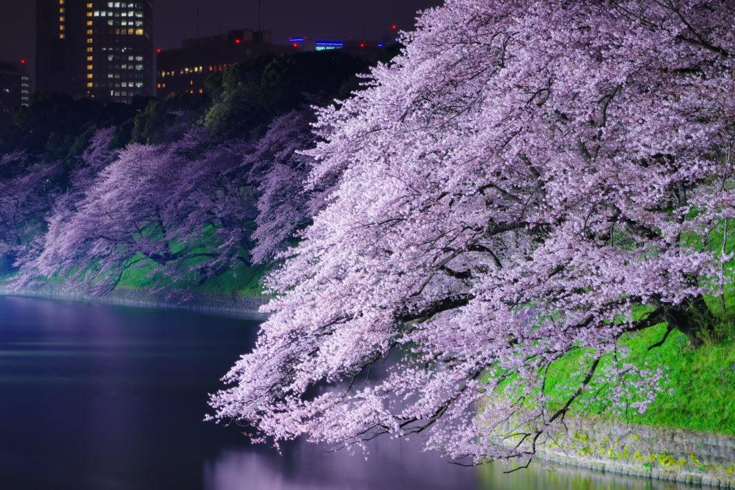 千鳥ヶ淵の桜ライトアップ   PENTAX K-5IIs&FA★28-70mm