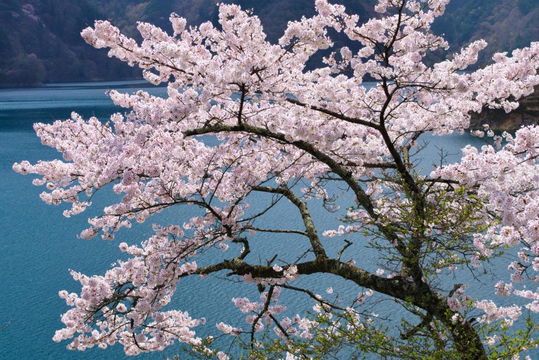 奥多摩湖の桜 | PENTAX K-5IIs&FA★28-70mm