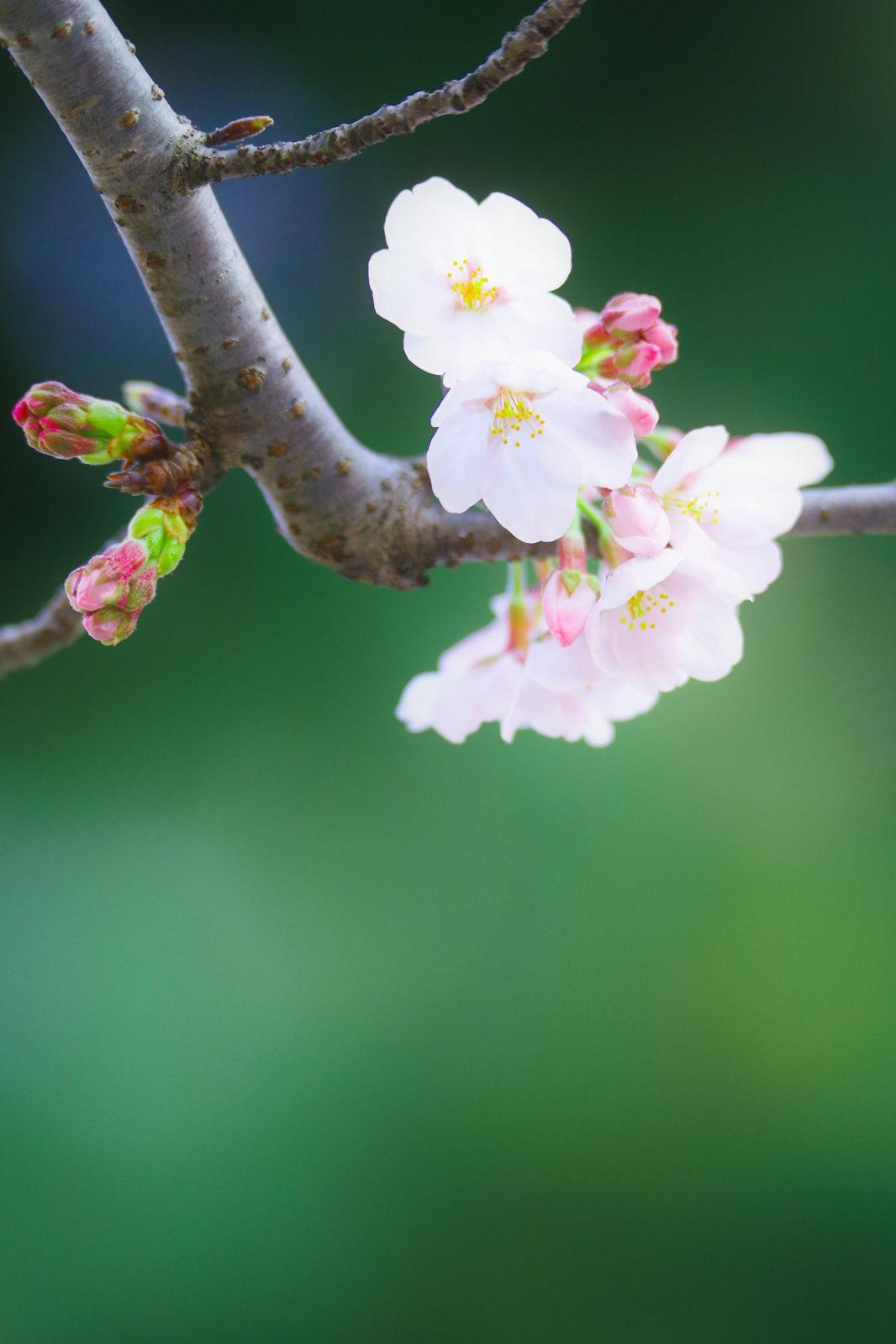 浜松城の桜 | PENTAX K-1&D FA★70-200mm