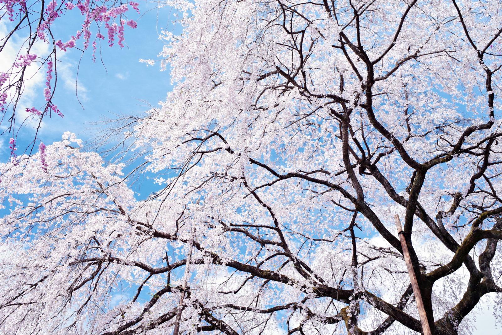 清雲寺の枝垂れ桜 | PENTAX K-1&FA35mm