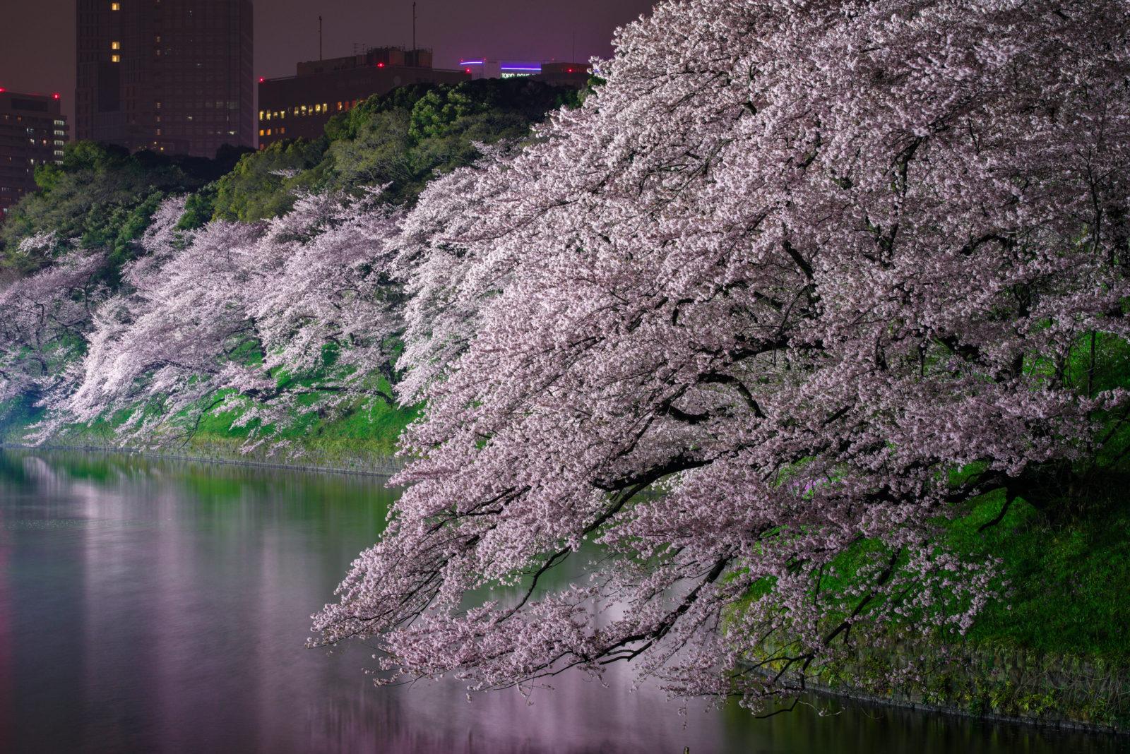 千鳥ヶ淵の桜ライトアップ2017 | PENTAX K-1&D FA★70-200mm