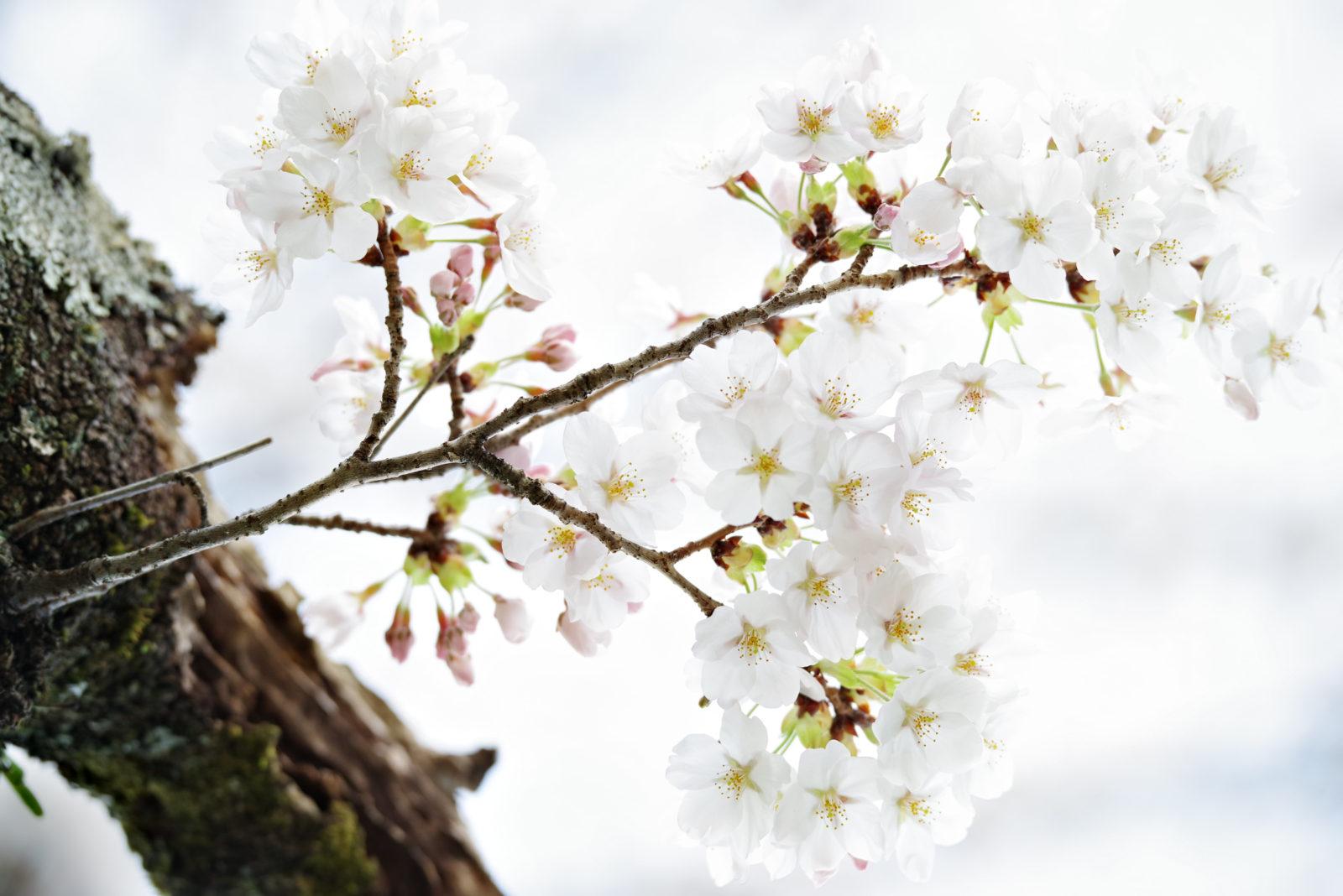 奥多摩湖の桜 | PENTAX K-1&D FA★70-200mm