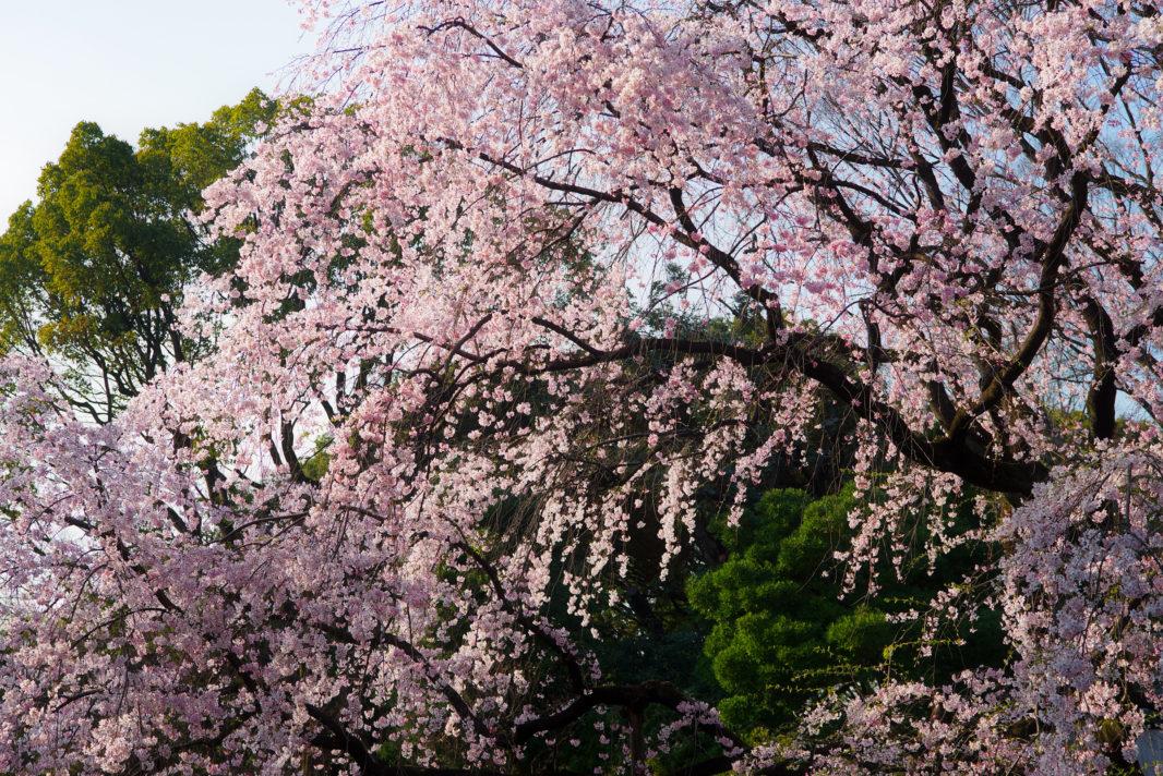 六義園の枝垂れ桜 | PENTAX K-1&FA★28-70mm