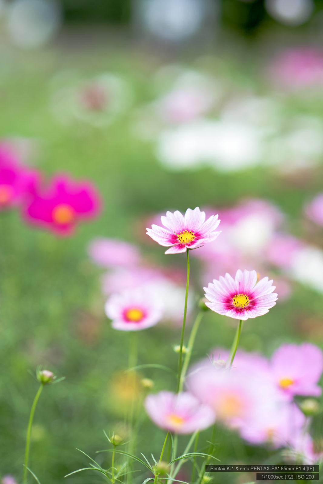 昭和記念公園の秋桜
