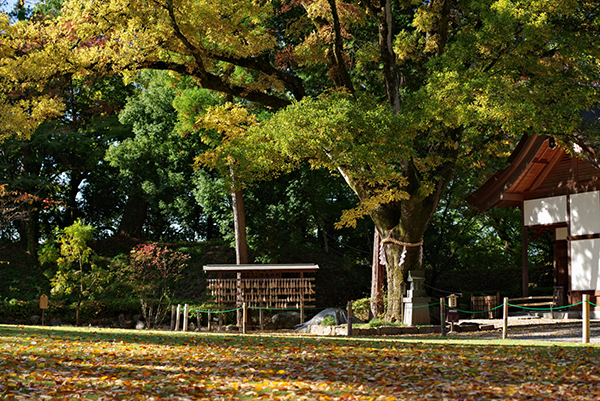武田神社の御神木