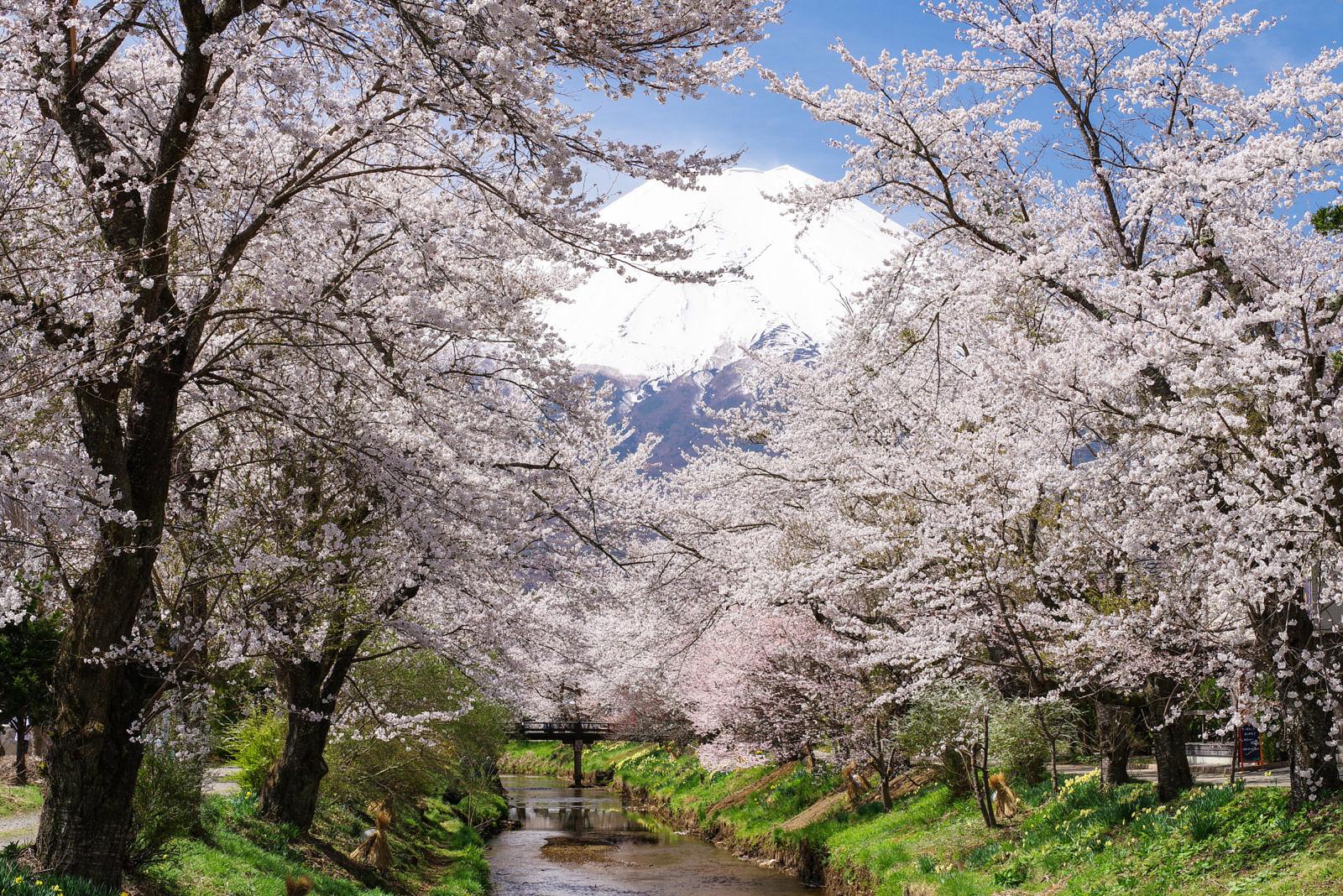 忍野村お宮橋より桜と富士山 | PENTAX K-1&D FA★70-200mm