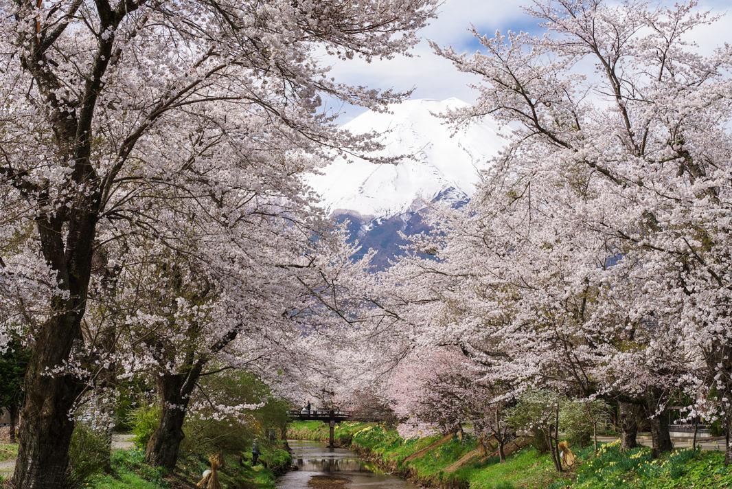 忍野村お宮橋より桜と富士山   PENTAX K-1&D FA★70-200mm
