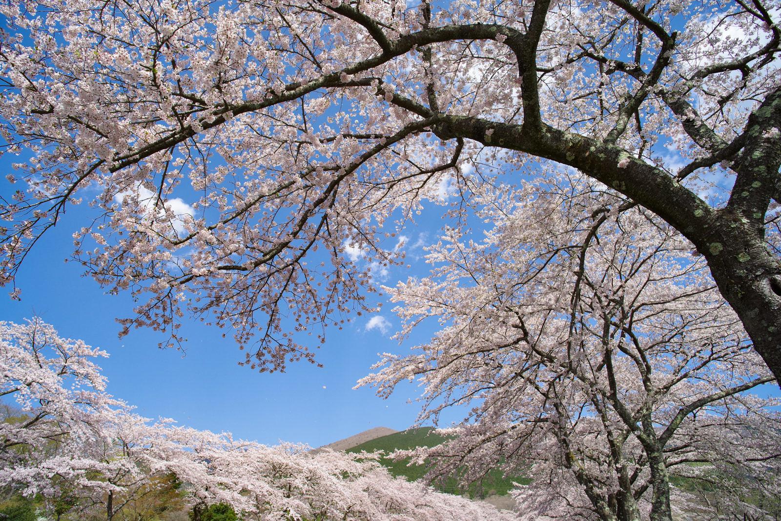 富士霊園の桜 | PENTAX K-1&FA20mm