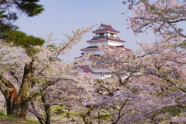 会津若松城の桜2018