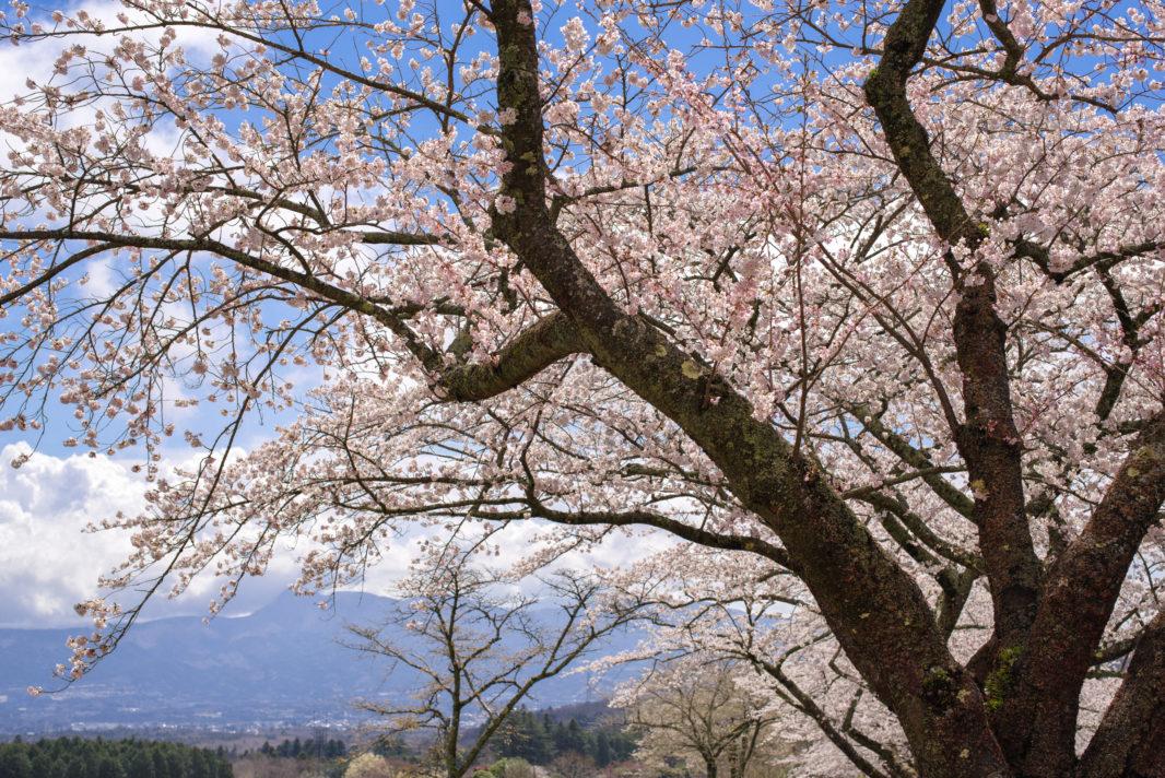 富士霊園の桜   PENTAX K-1&D FA★50mm