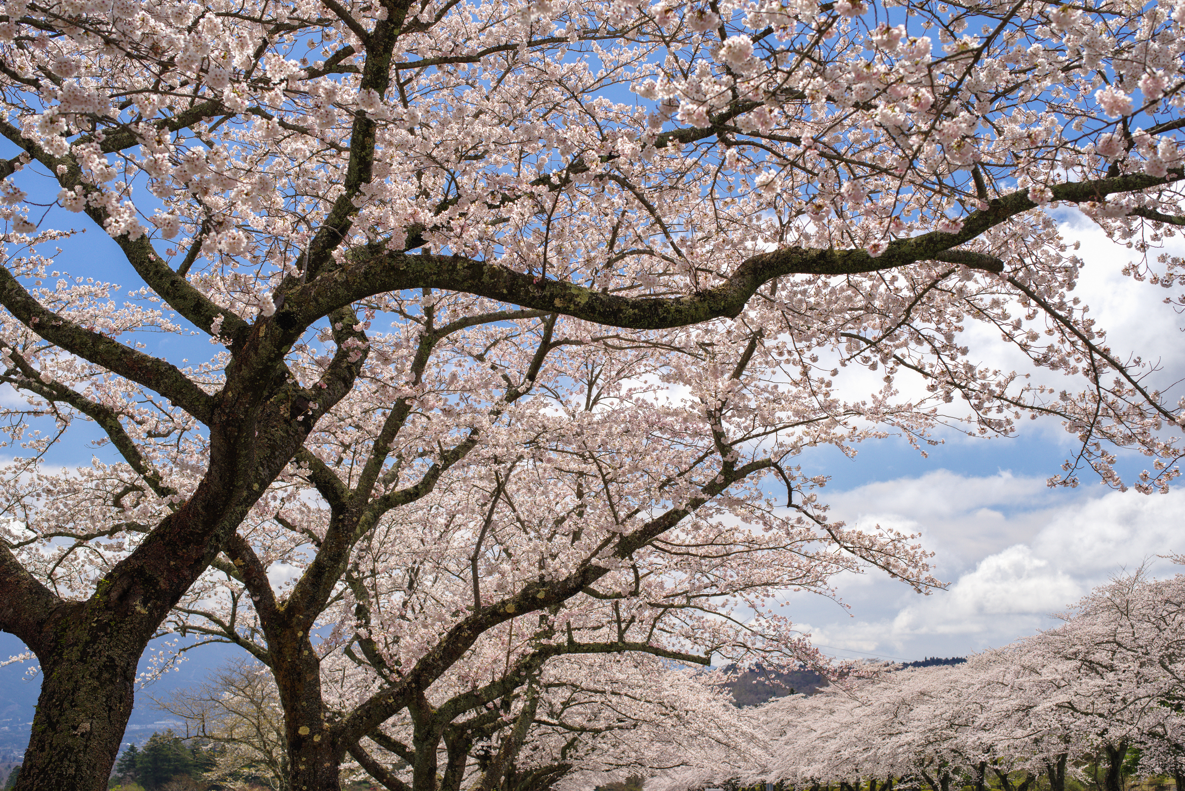 富士霊園の桜 | PENTAX K-1&D FA★50mm