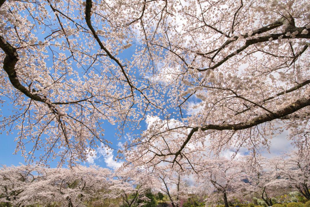 富士霊園の桜 | PENTAX K-1&D FA 15-30mm