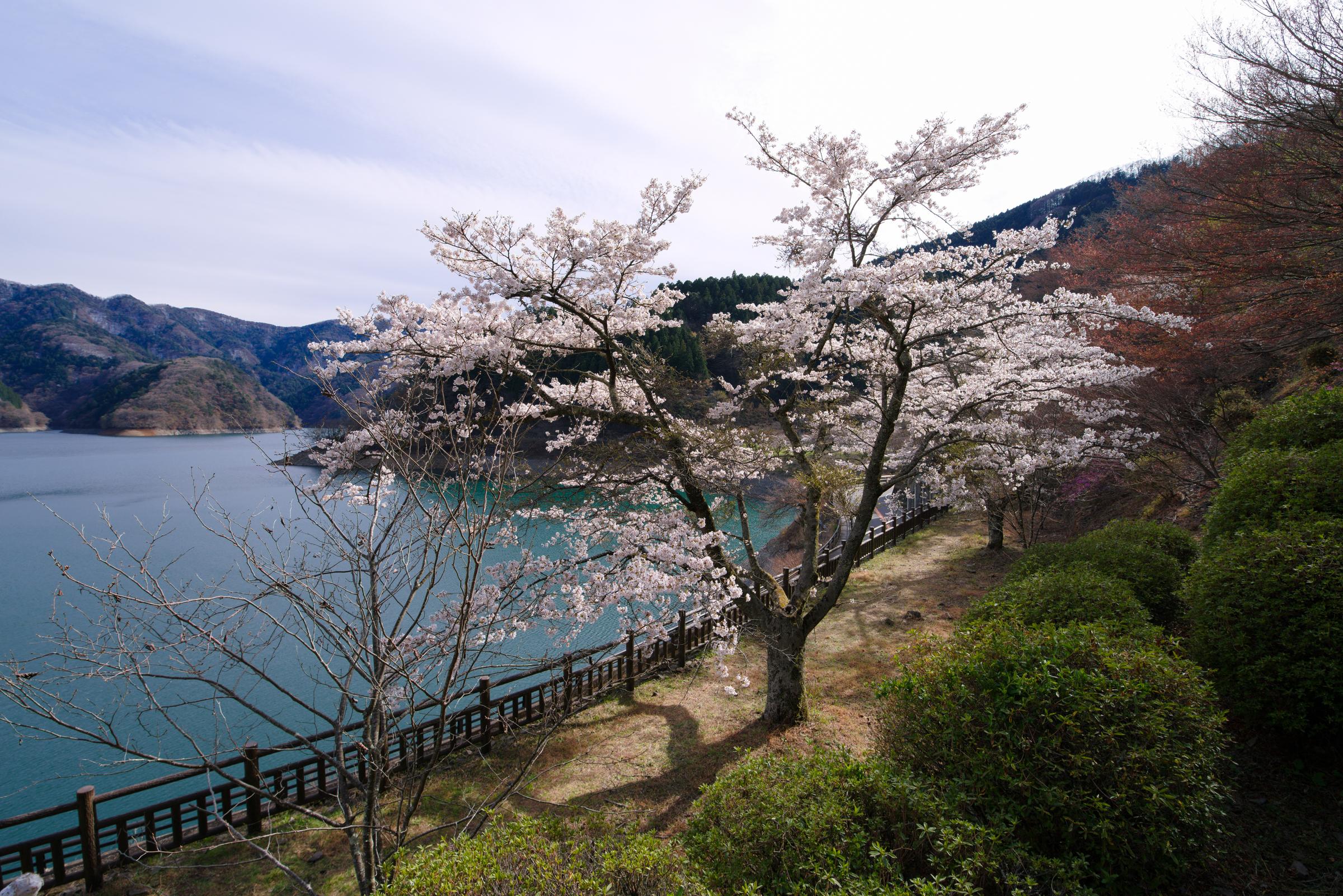 奥多摩湖の桜2019 | PENTAX K-1&D FA15-30mm