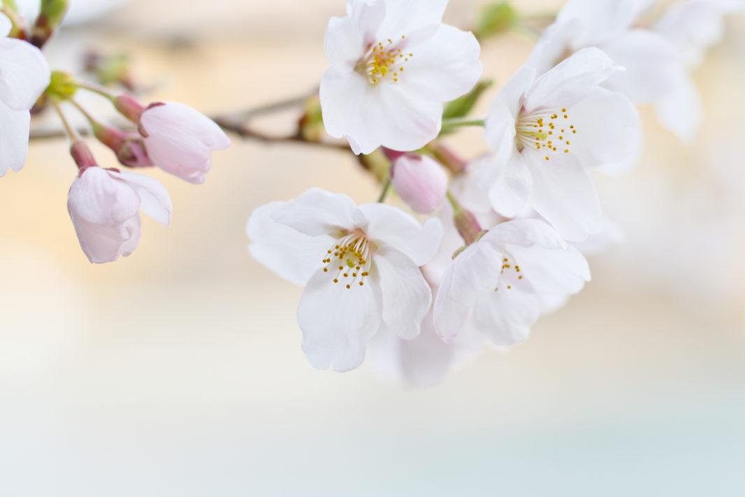 奥多摩湖の桜2019 | PENTAX K-1&D FA★50mm